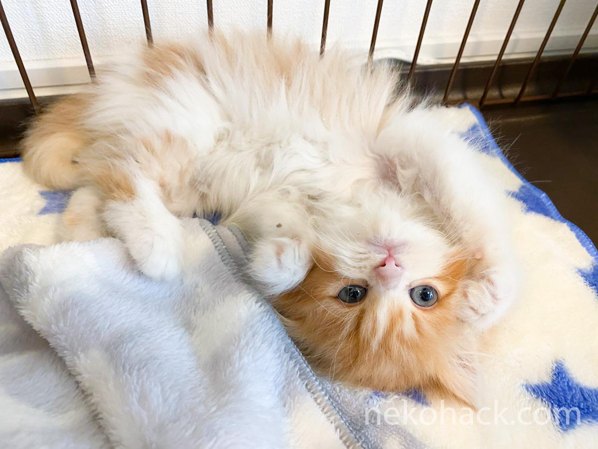 立ち耳スコティッシュフォールドのオス猫『きなこ』