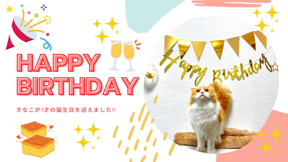 スコティッシュフォールドの「きなこ」が1才の誕生日!子猫が成猫になった感想
