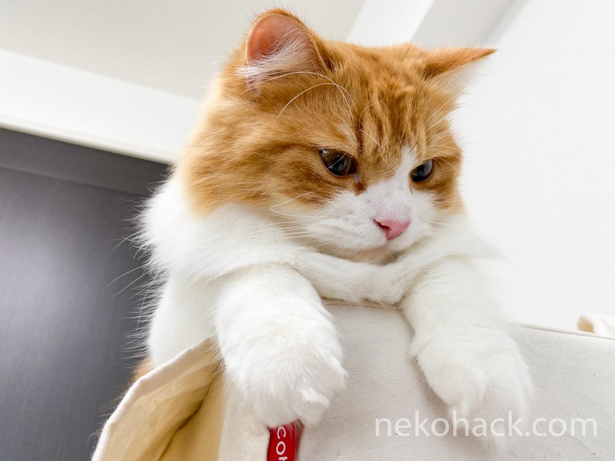 一気に冬毛になってきた子猫