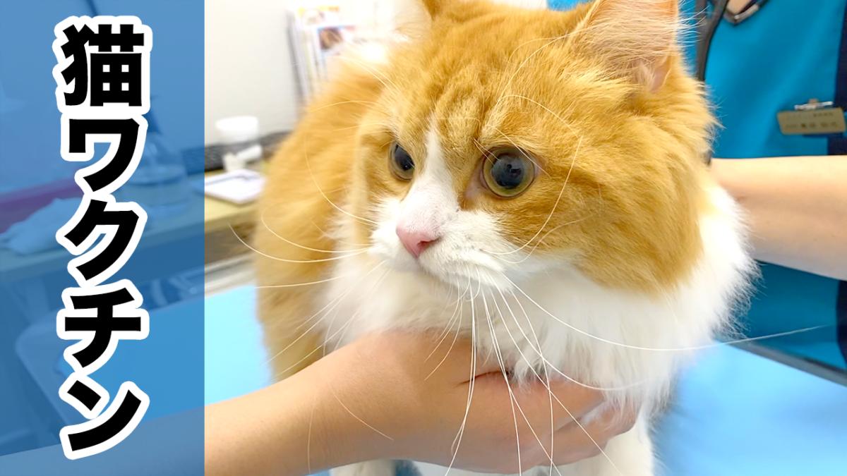 【2年目】猫のワクチン接種!成猫になった注射の時期・費用・受ける?受けない?について