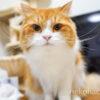 我が家のスコティッシュフォールド猫『きなこが』1際半を迎えました
